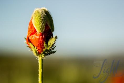 poppies-3017